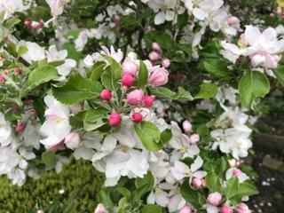 Fleur d arbres importante pour les abeilles2